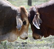 BULL FIGHT  IN THE OUTBACK by Barbara  Jean
