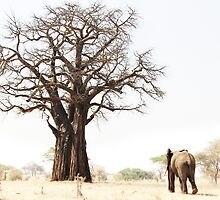 Baobab and elephant, Tarangire National Park, Tanzania by Hannah Nicholas