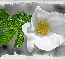 White Beach Rose Wildflower - Rosa rugosa by MotherNature2