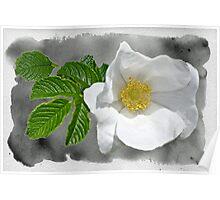White Beach Rose Wildflower - Rosa rugosa Poster