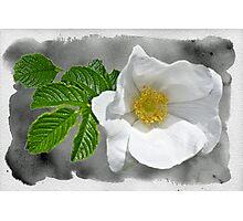 White Beach Rose Wildflower - Rosa rugosa Photographic Print