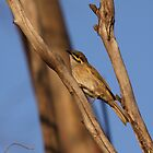 Yellow-faced Honeyeater by mosaicavenues