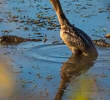 Juvenile Double-crested Cormorant - Horseshoe Pond - Concord, NH 10-25-13 by David Lipsy