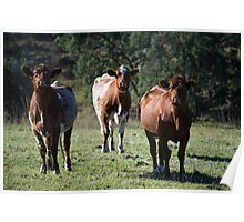 Shorthorns Poster