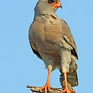 A Pale Chanting Goshawk by jozi1