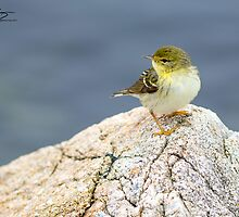 Spring Adult Female Blackpoll Warbler - Star Island, 05-24-13 by David Lipsy