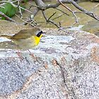 Spring Adult Male Common Yellowthroat - Star Island, 05-24-13 by David Lipsy