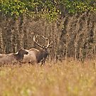 Elk of the Buffalo National River by Lisa G. Putman
