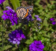 Monarch Butterfly by Elaine Teague