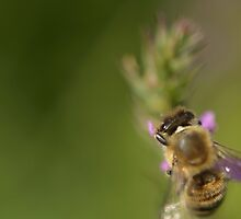 Honey Bee by Luke Griffiths