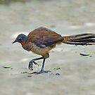 Alberts Lyrebird at O'Reillys (Please View Larger) by Alwyn Simple