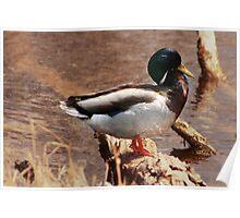 Male Mallard Duck Standing on a Log Poster