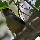 Austral Thrush by Dennis Cheeseman