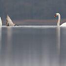 Mute swan's by Remo Savisaar