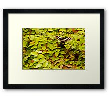 Butterfly drinking water Framed Print