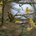Goldcrest Posing.. by Lauren Tucker