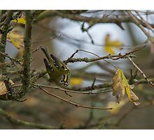 Goldcrest Posing.. Photographic Print