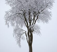 Trees covered in snow by DarlyB