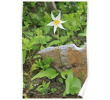 Avalanche Lily Poster