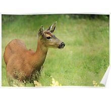 Columbia Black-tailed Deer Poster