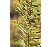 Licorice Fern Photographic Print