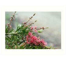 Grevillea in the rain Art Print