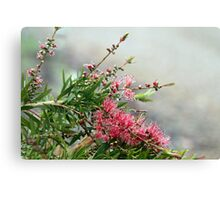 Grevillea in the rain Canvas Print