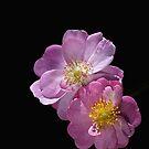 Bush Rose Duet by Joy Watson
