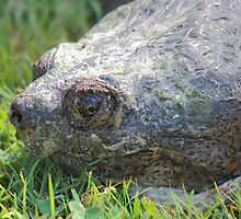 Snapping Turtle - Concord, NH 06-16-12 by David Lipsy