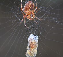 Spiders aren't so bad now that they eat bees by Zach Hawn