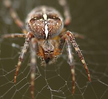 Orb Weaver by Zach Hawn