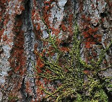 Moss on A Douglas Fir  by Zach Hawn