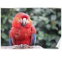 Perching Scarlet Macaw Poster