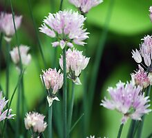 Pink Flowers by Rayvh