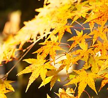 golden momiji (autumn in japan) by parisiansamurai