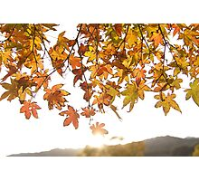 sunrise through the leaves of Momiji (autumn in Japan) Photographic Print