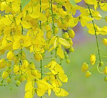 'Golden Shower' Blossoms by Kerryn Madsen-Pietsch