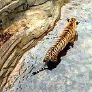 Tiger by Michael Lane