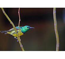 Collared Sunbird Photographic Print