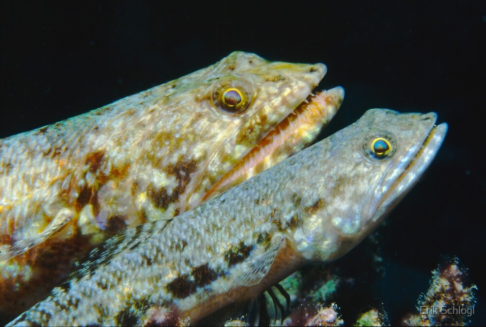 Variegated Lizardfish, Great Barrier Reef by Erik Schlogl