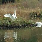 Swans at Stover by lezvee