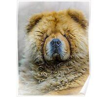 Chow portrait Poster