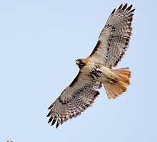 Red-tailed Hawk Soaring thru the Sky - Terrill Park - Concord, NH 03-15-13 by David Lipsy