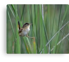 Marsh Wren Canvas Print