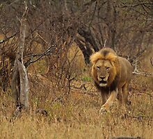 Patrolling his territory by Explorations Africa Dan MacKenzie
