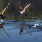 Canada Geese Take-off Run - Bow Town Pond - Bow, NH 05-06-13 by David Lipsy