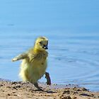 Canada Goose Gosling - Bow Town Pond - Bow, NH 05-15-13 by David Lipsy