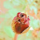 A Rose Bud by Vitta