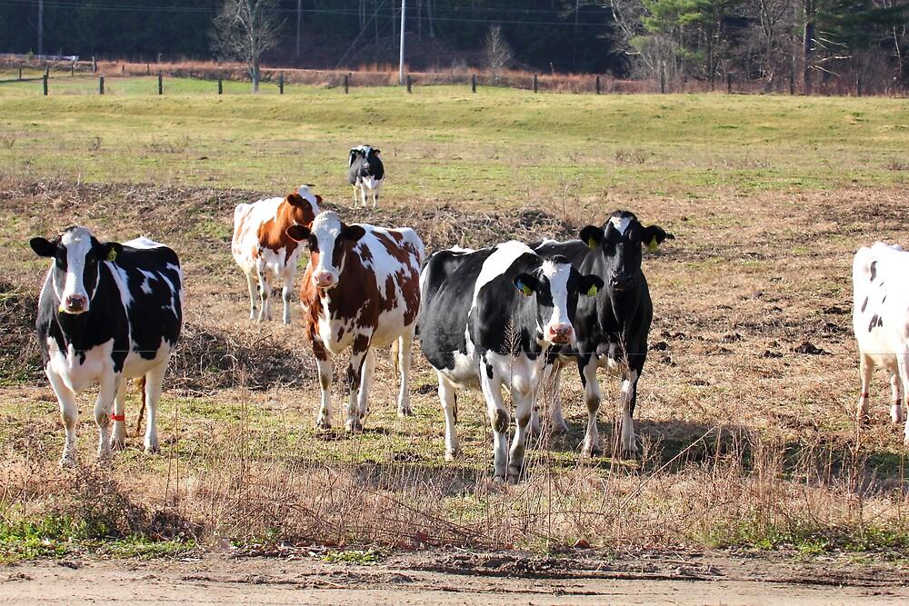 Cows - Pennacook, NH 11-20-12 by David Lipsy