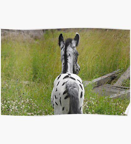 Appaloosa Foal  Poster